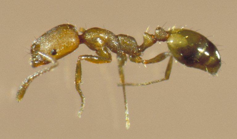 Pharaoh Ants In Kitchen