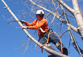 Tree Trimming - Brock's Landscaping - 905.822.3131